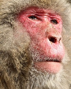 Japanese Macaques Suffer Hay Fever
